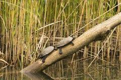 Animais selvagens no rio Fotografia de Stock Royalty Free