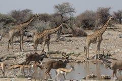 Animais selvagens no waterhole Fotografia de Stock