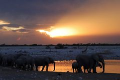 Animais selvagens que desfilam no furo de água perto do parque nacional do etosha do acampamento do okaukuejo em Namíbia Imagem de Stock Royalty Free