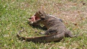 Animais selvagens um lagarto de monitor que come peixes video estoque