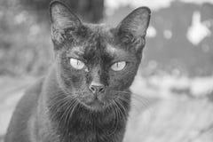 Animais sujos do gato preto Fotos de Stock