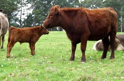 Animais - vacas Foto de Stock Royalty Free
