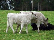 Animais - vacas fotografia de stock