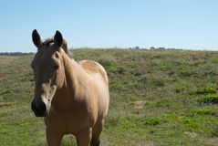 Animal. A gelding resting in a paddock Royalty Free Stock Photo