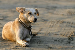 Animal. The dog looked like a stray in a beach Royalty Free Stock Images