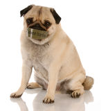 Animal abuse. Abused dog - pug with mouth taped shut Stock Photos