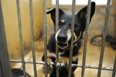 Aggressive stray dog snarling, barking behind bars in the aviary,