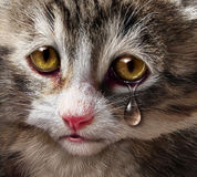Animal Abuse. And pet cruelty and neglect with a sad crying kitten cat looking at the viewer with a tear of despair as a concept of the need for humane