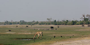 Animal activity at Chobe Royalty Free Stock Images