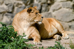 Animal is an adult lioness lying and staring. Image An animal is an adult lioness lying and staring Stock Photos
