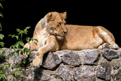 Animal is an adult lioness lying and staring. Image An animal is an adult lioness lying and staring Stock Images