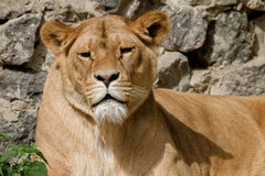 Animal is an adult lioness lying and staring. Image An animal is an adult lioness lying and staring Royalty Free Stock Photo