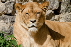 Animal is an adult lioness lying and staring. Image An animal is an adult lioness lying and staring Royalty Free Stock Image