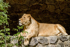 Animal is an adult lioness lying and staring Stock Images