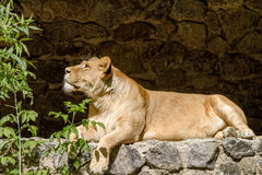 Animal is an adult lioness lying and staring Stock Photo