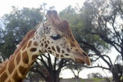 JIRAFA ANIMAL SKY GIRAFFE royalty free stock photos