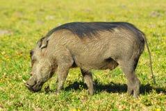 Animal africano Fotografia de Stock