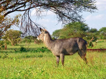 Animal africano selvagem Fotografia de Stock Royalty Free