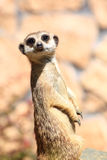 Animal Alert meerkat (Suricata suricatta) Stock Images