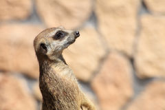 Animal Alert meerkat (Suricata suricatta) standing on guard Stock Images