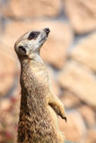 Animal Alert meerkat (Suricata suricatta) standing on guard Royalty Free Stock Photos