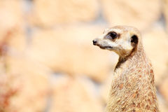 Animal Alert meerkat (Suricata suricatta) standing on guard Royalty Free Stock Photography