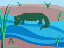 Animal alphabet flash card, A for alligator. This is part of the animal alphabet flash card collection. All animals are entire and can be edited and rearranged Royalty Free Stock Images