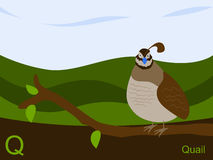 Animal alphabet flash card, Q for quail Stock Photo