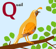 Animal alphabet for the kids: Q for the Quail Royalty Free Stock Photos