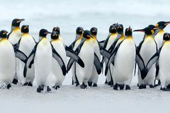 Animal from Antarctica. Group of king penguins coming back together from sea to beach with wave a blue sky, Volunteer Point, Falkl stock photography