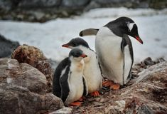 Animal antarctique Photos libres de droits