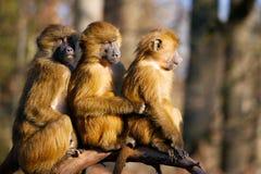 Animal, Ape, Baboon, Sphinx-Baboon Royalty Free Stock Image