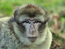 Animal, Ape, Baby Stock Photo