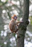 Animal, Ape, Baby Royalty Free Stock Photography