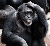 Animal, Ape, Black, Clever, Face Stock Image