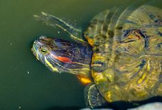 Animal, Aquatic, Close Royalty Free Stock Photography