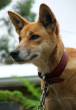 Animal - Australian dingo. Australian dingo is chained and looks to freedom stock photo