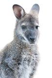 Animal australien - jeune verticale de kangourou Images libres de droits