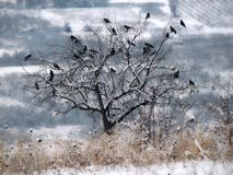 Flock of birds on a tree. Winter landscape royalty free stock image