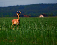 Animal background. Roe-deer Royalty Free Stock Photo