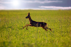 Animal background. Roe-deer Stock Photo