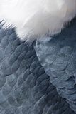 Animal backgrounds - Feathers. On a Marabou stork Stock Photos
