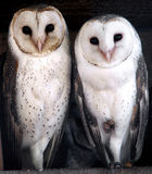 Animal - barn owl. Three cute barn owls stock images