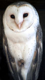 Animal - barn owl Royalty Free Stock Image