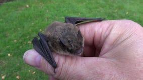 Animal  bat Nathusius pipistrelle (Pipistrellus nathusii) in naturalist hands stock video