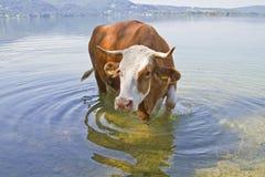 Animal bathing Stock Photography