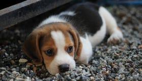 Animal, Beagle, Canine Stock Photos