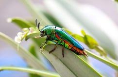 Animal. Beautiful Buprestis beetle royalty free stock images