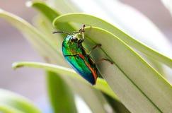 Animal. Beautiful Buprestis beetle stock images