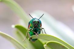 Animal. Beautiful Buprestis beetle stock image